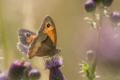Meadow Brown-3882 (WendyCoops224) Tags: 100400mml 80d canon eos localbirdswlldlife minibeasts ©wendycooper butterflies meadow brown