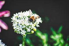 bee close (avflinsch) Tags: ifttt 500px flower white dark bee garlic