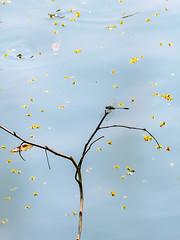 Afternoon Yellow Flow (Jimweaver) Tags: branch moss taiwan taipei lake water trunk tree blue purple shadow reflect mirror flower pond leaf 花 樹 葉 倒影 反射 樹幹 樹枝 苔蘚 台灣 台北 金龍湖 翠湖 dragonfly afternoon 蜻蜓 下午 asia