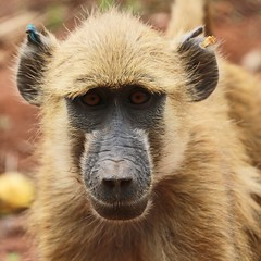"""Yellow Baboon • <a style=""""font-size:0.8em;"""" href=""""http://www.flickr.com/photos/152934089@N02/37566278306/"""" target=""""_blank"""">View on Flickr</a>"""