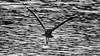 RIVER SKIMMER (Dinasty_Oomae) Tags: olympus omd olympusomd olympusem1 em1 オリンパス tokyo 東京都 江東区 kotoku bird snowyheron heron サギ