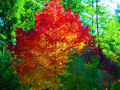 """""""Ablaze"""" in the forest (peggyhr) Tags: peggyhr autumn trees fallcolours dsc09111a vancouver bc canada sonydschx80 super~sixbronze☆stage1☆ thelooklevel1red thelooklevel2yellow thelooklevel3orange carolinasfarmfriends"""