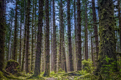 Tellus Mater (Luciano_de_Castro) Tags: landscape forest nature tree canon photography eos rainforest paradise fotografia woodland hoh usa northamerica fotografar unitedstates 760d t6s national park lucianodecastro washingtonstate olympicpeninsula