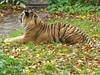 Sumatratiger (Chriest) Tags: naturzoorheine sumatratiger pantheratigrissumatrae