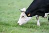 Vache Holstein (GL Showa) Tags: vache holstein pienoire