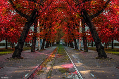 Maple (marksmorton) Tags: leaf tree trees forest outdoors nature flower flowers red orange beautiful horizons symmetry lines landscape train autumn seasons autumns