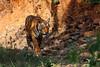 Royal Bengal Tiger (Panthera Tigris Tigris) (nilesh_fatnaney) Tags: royalbengaltigerpantheratigristigris royalbengaltiger pantheratigristigris royal bengal tiger panthera tigris