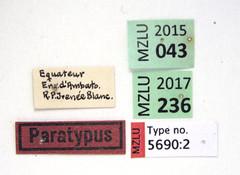 Gyrinus continuus Regimbart, 1907 (Biological Museum, Lund University: Entomology) Tags: coleoptera gyrinidae regimbart gyrininae gyrinus continuus mzlutype05690