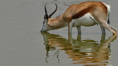 Durst löschen (marionkaminski) Tags: namibia afrika africa etoshanp nationalpark animal water reflektion reflection panasonic lumixfz1000 animale springbock