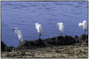 Great Egrets Passing the time_DSC8725 photoshop NIK edit © (nkatesphotography) Tags: bombayhookwildliferefuge smyrnade nikontc14ell nikond5 nikonafs200400f4vrll birds waterfowl shorebirds wildlife nature greategrets
