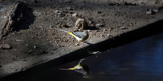 a Wagtail / une bergeronnette