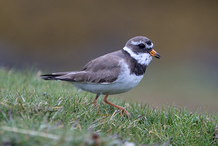 Common Ringed Plover at Flatey S24A1778