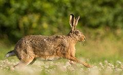 Running Brown Hare (Wouter's Wildlife Photography) Tags: brownhare lepuseuropaeus hare mammal animal rodent nature naturephotography wildlife wildlifephotography running billund