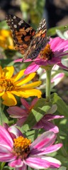 butterfly and zinnia bookmark (JoelDeluxe) Tags: deming newmexico nm diazfarms joeldeluxe