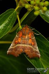 The Herald (Scoliopteryx libatrix) (gcampbellphoto) Tags: the herald scoliopteryx libatrix moth macro nature wildlife north antrim ballycastle gcampbellphoto insect