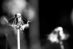 Too late (Anxious Silence) Tags: garden blackandwhite flower nature plants dandelion dandelionclock seeds seedhead