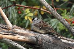 White-crowned Sparrow, Zonotrichia leucophrys (jlcummins - Washington State) Tags: birds wildlife yakimagreenway uniongap washingtonstate nature birding birdwatching naturephotography walk hike sparrow zonotrichialeucophrys