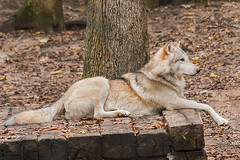 Contemplation (Back Road Photography (Kevin W. Jerrell)) Tags: animals wolves predators backroadphotography kingsport tennessee sullivancounty nikond7200 autumn wildlife