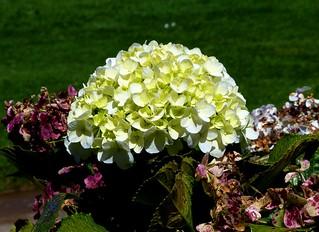 Green Hydrangea flower.