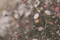 Small things... (Aby Images) Tags: canon eos 100d fleurs flowers bretagne brittany finistère 50mm small vintage soft