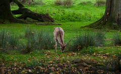 Fallow Deer in woods at Tatton Park, Knutsford Cheshire (kyliepics) Tags: olympus e520 evolt520 olympuszuikodigital70300mmf4056 darktable