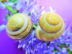 Beautiful Spiral's (seanwalsh4) Tags: snails common pair fauna spiral 7dwf crazytuesday 2ofakind seanwalsh blue hebe flower pretty bluehebeflower bristol