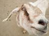 Goat closeup (dharder9475) Tags: 2017 5star animals closeup face farm farming goat head livestock macro motorolax2014 nose privpublic