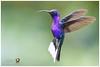 Violet Sabrewing / Alasable Violáceo (Panama Birds & Wildlife Photos) Tags: hummingbird hummingbirds hummer colibrí colibríes picaflor picaflores visitaflor visitaflores sabrewing alasable violet panama ave bird wildlife conservation nature ngc