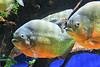 Piranhas à ventre rouge (Jean (tarkastad)) Tags: tarkastad monaco bestioles fisk fish poisson piranha
