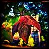 Leafs. #collegepark #maryland #commute #sidewalk #roadside #iPhone365 #iPhone7plus #iPhone #iPhonemacro #macro  #flower #leaf #fall #fallcolor (Kindle Girl) Tags: iphone leaf fall collegepark maryland commute sidewalk roadside iphone365 iphone7plus iphonemacro macro flower fallcolor