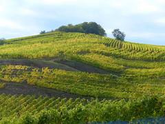 kreuz und quer- crisscross (Anke knipst) Tags: trauben weintrauben grapes sonne sunshine elsass alsace turkheim