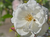 Freitagsblume (somareja*pictures) Tags: fridaysflower freitagsblume blume macrodreams macroaufnahme macro marienkäfer königin rose flickr markusreber somarejapictures