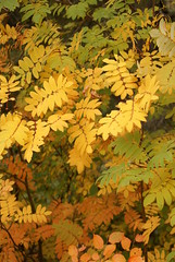 Ash (obsequies) Tags: fall autumn harvest halloween leaves gradient colour color mountain ash tree trees leaf bokeh seasons canada whimsy whimsical nature earthy woodland forest home homestead life