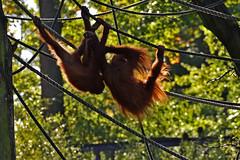Orang-Utan (Michael Döring) Tags: gelsenkirchen bismarck zoomerlebniswelt zoo goldeneroktober orangutan afs200500mm56e d7200 michaeladöring