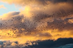 IMG_3952 (LezFoto) Tags: canoneos700d sigma 700d canon 120400mmf4556dgapooshsm scotland unitedkingdom murmuration angus starling starlings clouds sunset sky