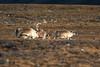 Svalbard Reindeer at Festningen S24A2704 (grebberg) Tags: geological fieldwork festningen spitsbergen svalbard september 2017 svalbardreindeer rangifertarandusplatyrhynchus rangifer rangifertarandus reindeer