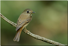 Brown-breasted Flycatcher (Muscicapa muttui) (birdsforlife) Tags: birdsforlfe ganeshjayaraman llure indianbirds birdsofindia brownbreastedflycatcher flycatcher muscicapamuttui