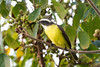 GUEJ_2016-11-21_07-33-37 (jsguenette) Tags: bird birding birdwatching faune mexique2016 oiseau ornithologie ornithology socialflycatcher tyransociable wildlife quintanaroo mexique mx myiozetetessimilis