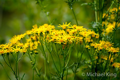 Yellow. (michaelking22) Tags: yellow ragwort plant weed flower flowers flora green leaves