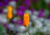 Orange blossom in Jackson Hole (Pejasar) Tags: garden orange blossom bloom vibrant jacksonhole wyoming