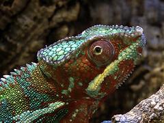 Chamäleon (robárt shake) Tags: chamäleon nature animal bunt farbwechsel farbspektrum spektrum reptil dinosauerier