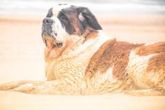 galli cadzand1 (cdandrifosse) Tags: galli saint bernard mer cadzand chien