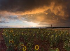 Under Dark Clouds (MrBlackSun) Tags: sunflower fields summer thunder storm sunset landscape scenery landscapephotography nikon d810