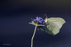 Citron (vyclem78) Tags: citron papillon macrophotographie proxyphotographie insecte yvetteclemenson d750 180sigmamacro
