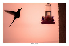 A small visitor (Marcos Jerlich) Tags: hummingbird bird fauna silhouette natur naturaleza spring colorful pink drinkingfountain october flickr pinkoctober 7dwf canon canont5i canon700d marcosjerlich