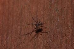 Arachtober 25 (c) (Procrustes2007) Tags: spider arachnid arachtober macro nikond50 nikkor50mmais tamron2xteleconverter vivitarextensionrings68mmtotal flash greatcornard suffolk uk britain england eroaphana piratespider mimetidae