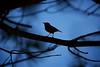 Silhueta (Carlos Santos - Alapraia) Tags: ngc ourplanet animalplanet canon nature natureza wonderfulworld highqualityanimals unlimitedphotos fantasticnature birdwatcher ave pássaro bird