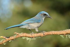 Woodhouse's Scrub-Jay (5243) (Bob Walker (NM)) Tags: bird perching woodhousesscrubjay aphelocomawoodhouseii wosj jay whiterock newmexico usa