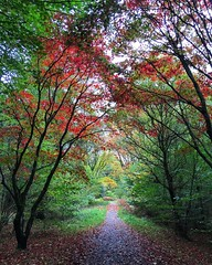 Japanese Maples (Marc Sayce) Tags: japanese maple acer palmatum trees colours fall leaves lodge autumn october 2017 alice holt forest hampshire wrecclesham farnham surrey south downs national park