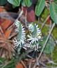 Spiranthes Spiralis (n.pantazis) Tags: nature natural wild flower spontaneous orchid wildorchid attica attiki autumn fall pentaxks2 tamron thomisusonustus spider white green closeup